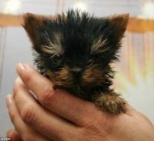 โฉมหน้าสุนี ผู้เข้าชิงสุนัขตัวเล็กที่สุดในโลก
