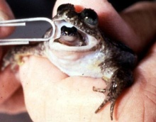 สัตว์โลกน่ารู้  : กบประหลาด เลี้ยงลูกในกระเพาะ