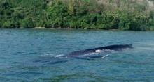 ฮือฮา!พบ วาฬสีน้ำเงิน เป็นครั้งแรกในประเทศไทย