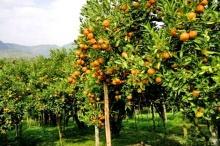 ชมทิวทัศน์ที่งดงามของสวนส้มที่ออกผล โอบล้อมด้วยธรรมชาติขุนเขาสวยงาม