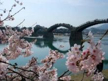 เสน่ห์ดอกซากุระบานที่ สะพานคินไตเคียว