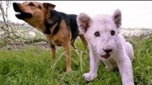 สวนสัตว์ออสเตรเลียเปิดตัวคู่หูต่างสายพันธุ์สุนัขและลูกสิงโตขาว