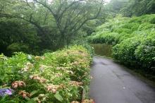 ดอกไฮเดรนเยียบานที่สวนนูกาตะ