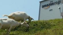 บริษัทอเมซอนในญี่ปุ่น จ้างแพะแทนคนตัดหญ้า