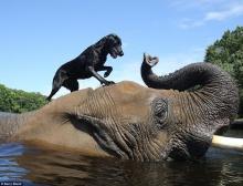 คู่หูต่างพันธุ์ หมากับช้าง เขาเล่นอะไรกัน