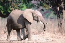 ช้างหนังหนาเดินกลางแดด ร้อนหรือไม่