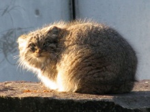 Pallas Cat พัลลัส แมวขนหนานุ่มที่สุดในโลก