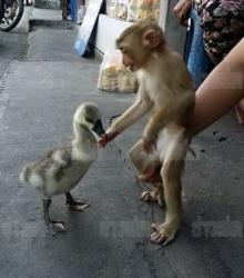 น่ารักฟรุ้งฟริ้ง! ลิง - ห่าน เพื่อนซี๊ต่างสายพันธ์ุ หยอกล้อ หอมแก้มกัน!!