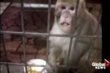 เศรษฐีอินเดียยกมรดกบ้าน-ที่ดิน-เงินฝาก ให้ลิงลูกรัก!!