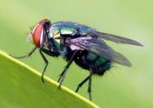 รู้มั้ย!? แมลงวันหาอาหารได้อย่างไร