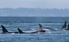 แหล่งอาหารลดลงอาจทำวาฬเพชฌฆาตตั้งครรภ์ล้มเหลว