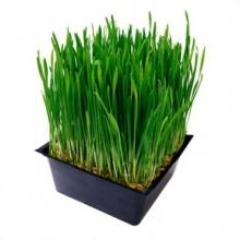 ทำไมคลอโรฟิลล์จึงมีสีเขียว