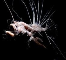 ปลาปีศาจ ครีบพัด ( Fanfin Seadevil )