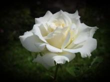 ดอกไม้ กับ วันวาเลนไทน์