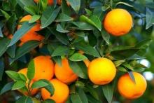 ส้ม ผลไม้คู่บ้านของคนไทย
