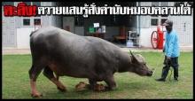 ตะลึง!ควายไทย แสนรู้คำนับหมอบคลานได้