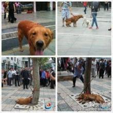 สุดสลด! ภาพสุนัขโกลเด้นถูกตีตายกลางเมืองจีน-ฐานไม่มีใบอนุญาตเลี้ยง