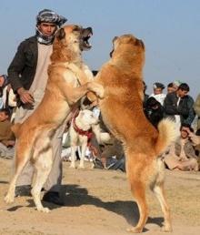 เทศกาลแข่งกัดหมา!!