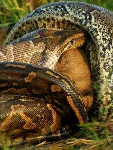 ชมภาพหาดูได้ยาก งูยักษ์แอฟริกัน เขมือบวัวทั้งตัว