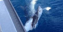 ฉลามฮุบฉลาม!.. พรานเบ็ดยิงช็อตเด็ด