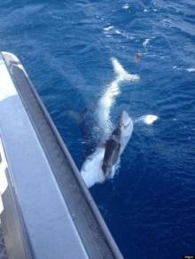 นักตกปลาเก็บภาพเด็ด ฉลามกินฉลาม