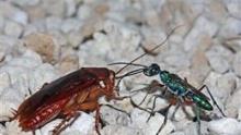 พบตัวต่อเติบโตอยู่ในตัว แมลงสาบ แล้วมันสำคัญตรงไหน ?