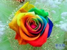 จีนฮิต กุหลาบสีรุ้ง ช่อละ 5,000