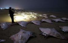 ฝูงปลากระเบนเกยตื้นเกลื่อนหาดกาซาซิตี