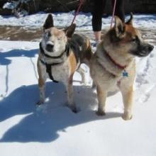 แจ๊ค-ชิโก้ สุนัขดูโอซี้ย่ำปึ้กที่ไม่เคยทิ้งกันแม้อีกตัวจะตาบอด