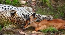 เสือดาวเล่นหยอกล้อกับกวางก่อนเขมือบเฉย