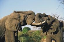 ช้างกับกิ่งไม้
