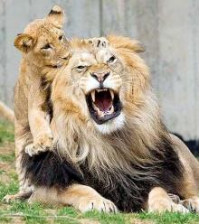 สิงโต กำลังจะสูญพันธุ์!
