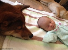 น่ารัก หมาพันธุ์ชิบะเฝ้ายามหนูน้อยแรกเกิด
