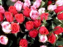 จำนวนดอกกุหลาบสื่อความหมายรัก