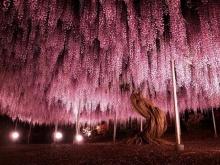 ต้น ถั่ว ยักษ์ ใหญ่ครึ่งเอเคอร์