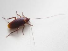 มาดู!! วิธีไล่ แมลงสาบ ชะงัก ด้วยสูตร ธรรมชาติ