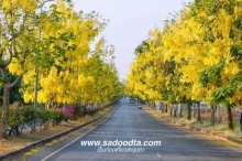 เส้นทางดอกไม้ :ดอกคูณเส้นสนามบินขอนแก่น กำลังเหลืองอร่ามวันปีใหม่ไทย
