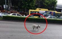 หมาจรจัดจะข้ามถนน แต่ไม่มีรถหยุดให้ และสิ่งที่มันทำ ทำเอาคนถึงกับพูดไม่ออก