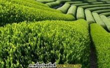 ชาเขียวชนิดต่าง ๆ