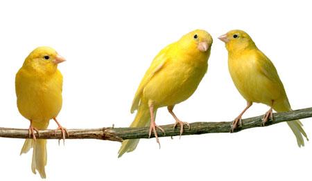 นกคีรีบูน Canaries