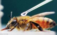 เชื่อหรือไม่ผึ้งก็ติดโคเคน !!!