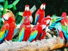 นกแก้วฟังเพลงเป็น เคลื่อนไหวให้เข้ากับจังหวะเหมือนกับคน