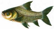 ทำไมปลาน้ำจืดจึงมีก้างอ่อน ๆ ฝอย ๆ แต่ปลาน้ำเค็มก้างจะใหญ่และแข็งกว่า