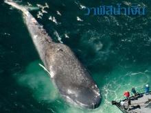 ทำไมวาฬ ถึงไม่ใช่ปลา