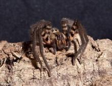พบแมงมุมพันธุ์ร้ายถูกกัดแล้วทำให้อวัยวะเพศแข็งตัวสี่ชม.