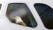 นกนั่งเครื่องบิน