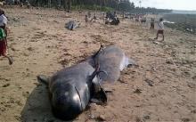 ชาวเกาะอินโดฯ เตรียมเปิบปลาวาฬร่องน้ำครีบสั้น