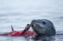 ระทึก แมวน้ำเสือดาวโชว์สัญชาติญาณโหดล่าเพนกวินในทะเลขั้วโลกใต้