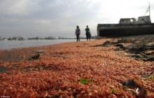 กุ้ง-ปูเกยตื้นตายเกลื่อนหาดชิลีนับแสนตัว ปชช.เชื่อผลจากโรงไฟฟ้า