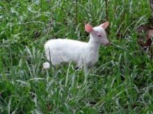 สวนสัตว์สงขลาโชว์สมาชิกใหม่ลูกเก้งเผือกนับเป็นตัวที่สามของโลก